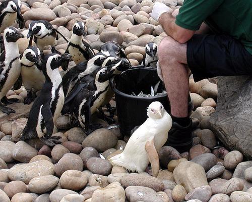 Snowdrop the penguin