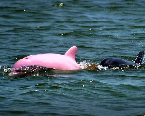Pinky the dolphin