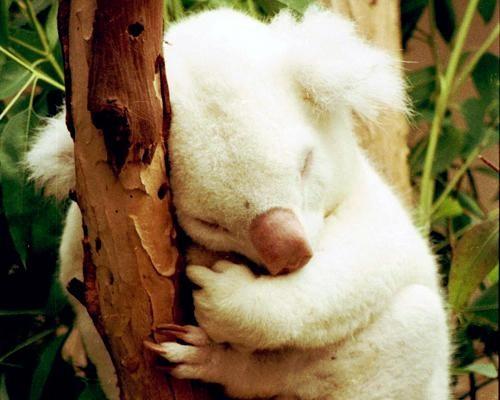 Onya Birri the koala