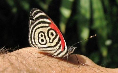 Diaethria neglecta 89 butterfly
