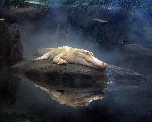 Claude the alligator