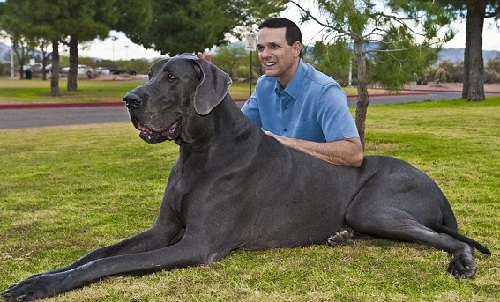 World's tallest living dog Giant George