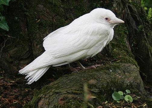albino jackdaw bird