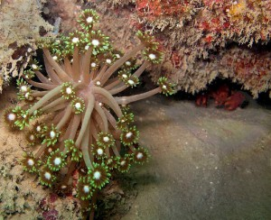 coral (Goniopora djiboutiensis)