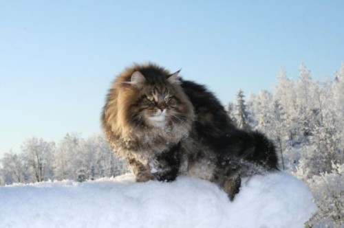 Although gaining in popularity, the expense of importing the cats from Russia keeps the breed relatively rare outside of Europe.