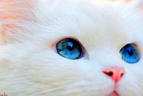 Blue-eyed, pure white cats are frequently deaf