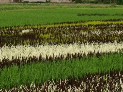 Painting on rice fields, paddy art made by Japanese farmers