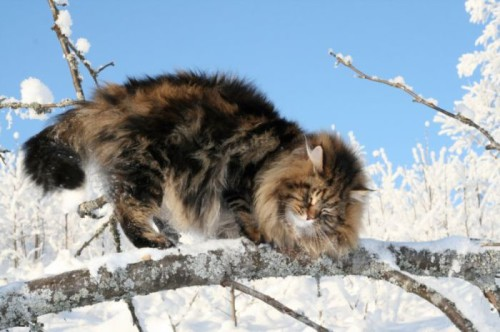 Powerfully built beautiful Siberian Cat. Siberian is a strong and powerfully built cat, with strong hindquarters and large, well rounded paws
