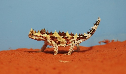 Thorny Devil only terrifying on the outside