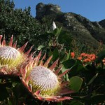 Kirstenbosch, famous botanical garden, Cape Town, South Africa