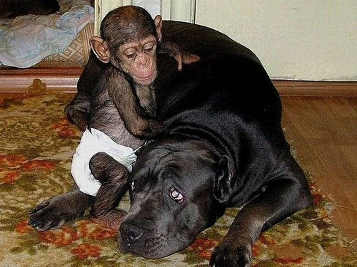 Baby Chimp adopted by mastiff