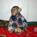Wearing shirt, Baby Chimp