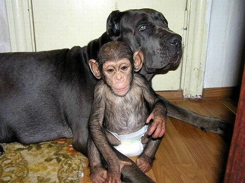 Somewhere in Russia. Baby Chimp adopted by mastiff