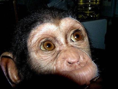 Baby Chimp rescued by mastiff