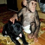 Adorable puppy and chimpanzee grow like brothers