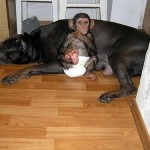 Lucky Baby Chimp adopted by mastiff