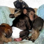 Sleeping together, Baby Chimp and mastiff puppies