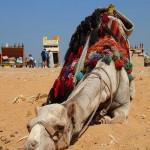 Having rest camel