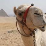 Posing before camera camel