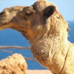 Ship of desert, Camel