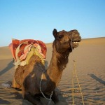 In fact, camels have small ears but excellent hearing
