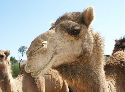 Camel facts