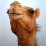 Wonderful Camel facts
