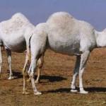 Rare white camels