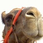 Looking snobbish, Camel