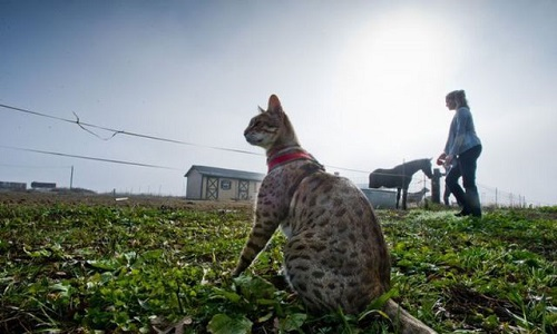 Debby Maraspina and African wildcat named Trouble live in California