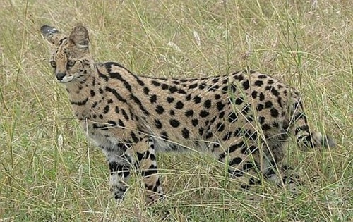 African wildcat named Trouble