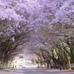 Alley of Jacaranda