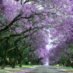 Inspiration for artists and photographers - Jacaranda