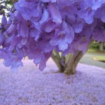 Closeup - blossoms of Jacaranda tree