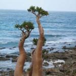 Wonderful bottle trees of Socotra island