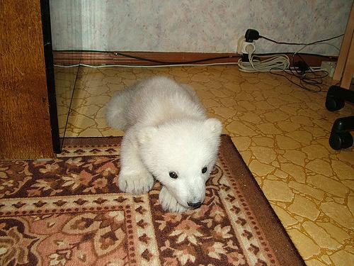 Meanwhile in Russia polar bear cub