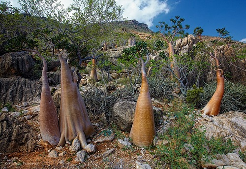 Socotra Bottle Tree