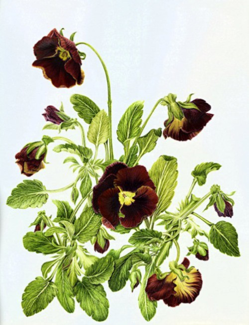Viola origin, meaning, legends