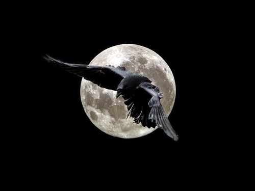 most Intelligent Animals Crow