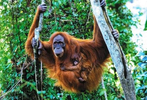 most Intelligent Animals Orangutans
