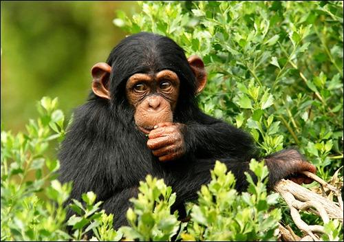 most Intelligent Animals Chimpanzees