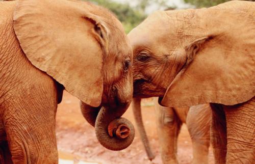 most Intelligent Animals Elephants