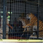 Tigers kept in cage