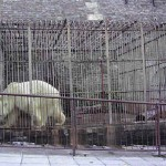 polar bear in cage