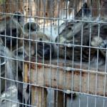 Poor Encaged animals