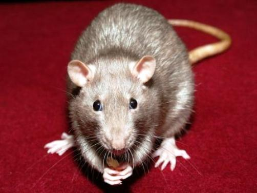 Gambian Pouch Rat