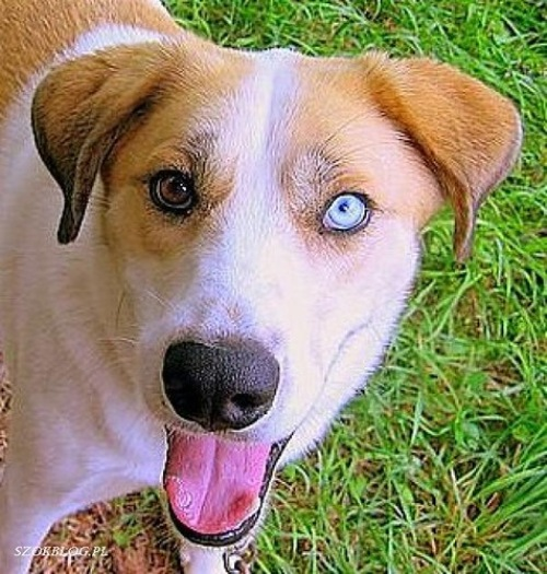 Heterochromia in Animal World