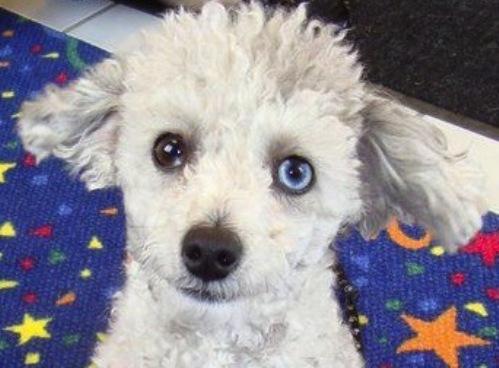 Heterochromia in a dog