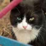 Black and white cat with Heterochromia