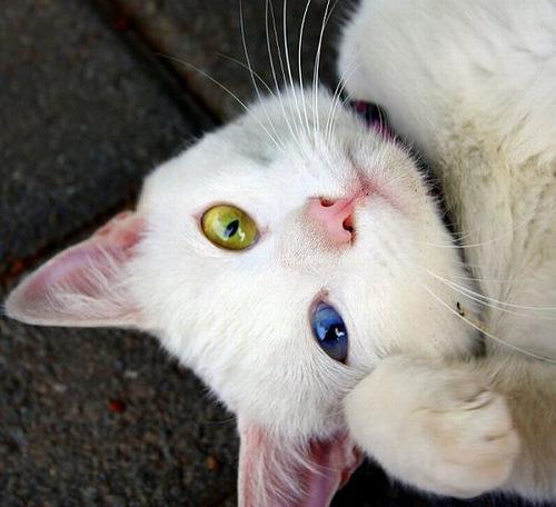 Odd-eyed (Heterochromia) cat